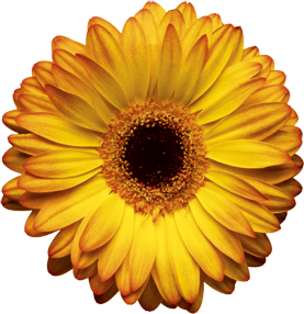 Yellow Daisy Png The gallery for -->...